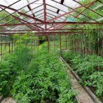 szklarnia z warzywami